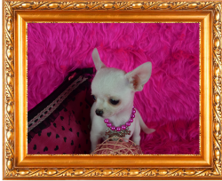 9 chihuahua toy